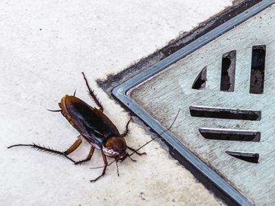 A cockroach is attracted to a home water leak.