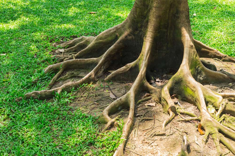 Tree roots can affect your pipes.